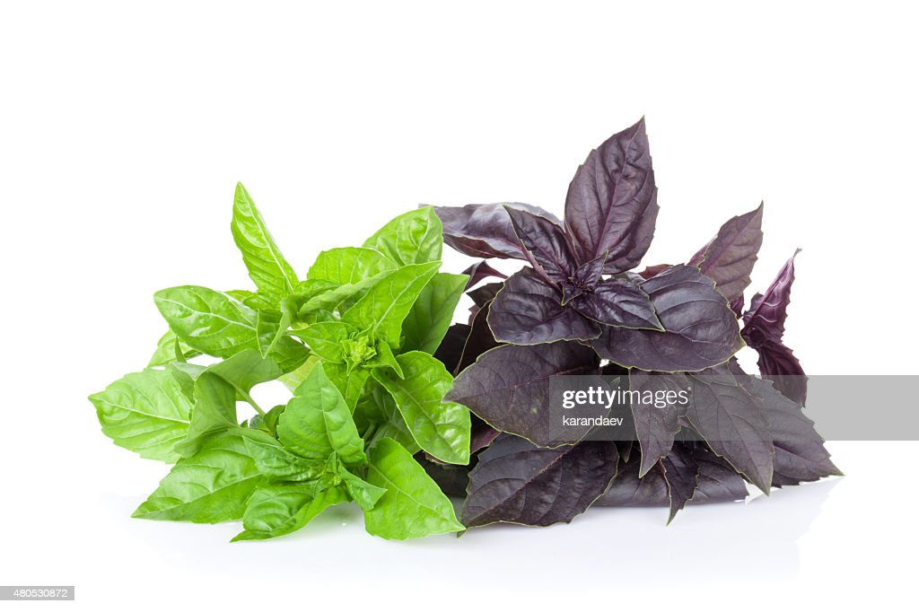 Fresh garden basil : Stock Photo
