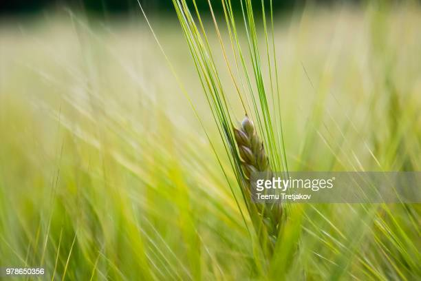 fresh grain - teemu tretjakov stock pictures, royalty-free photos & images