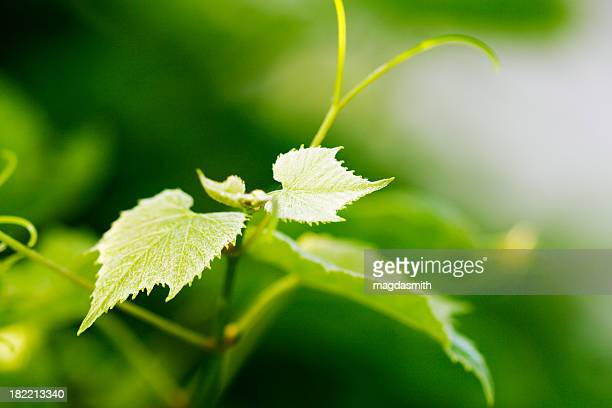 fresh grape leaves - grape leaf stock pictures, royalty-free photos & images