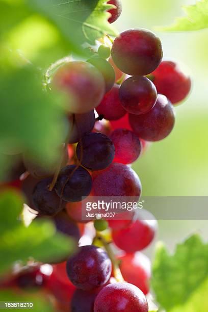 Uva frescas