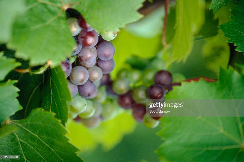Fresh grapes : Stock Photo
