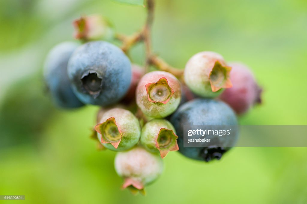 Fresh green and blue blueberries in nature : Stock Photo
