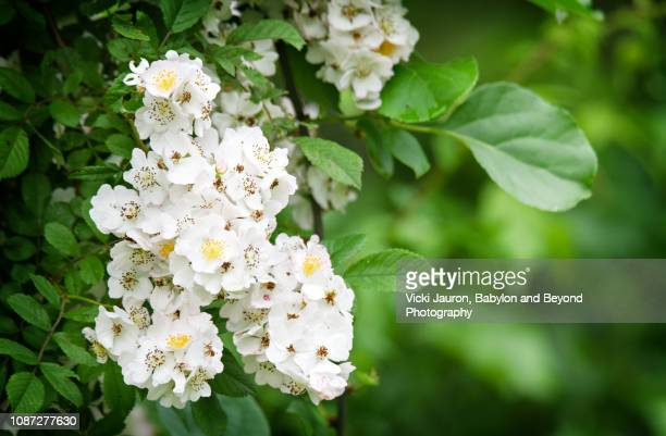 fresh green and white spirea blooms in spring at caumsett state park, long island - huntington suffolk county new york state stock pictures, royalty-free photos & images