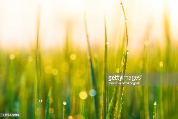 fresh green background - 露 ストックフォトと画像