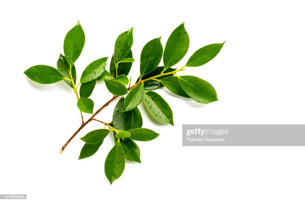 [Fresh green] Fresh green leaves branch with drops isolate on white background : ストックフォト