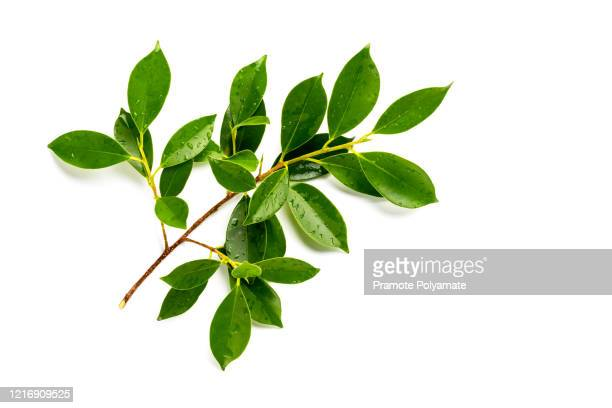 [fresh green] fresh green leaves branch with drops isolate on white background - leaf stockfoto's en -beelden