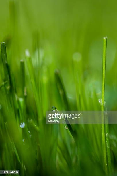 Fresh green grass with small drops of water. Golf course or soccer field