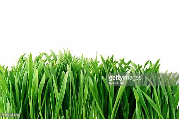 Frische grüne wachsende Gras mit Textfreiraum