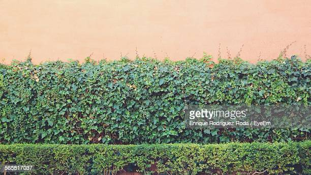 Fresh Green Hedges Against Wall