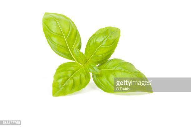 Fresh green leaf basil
