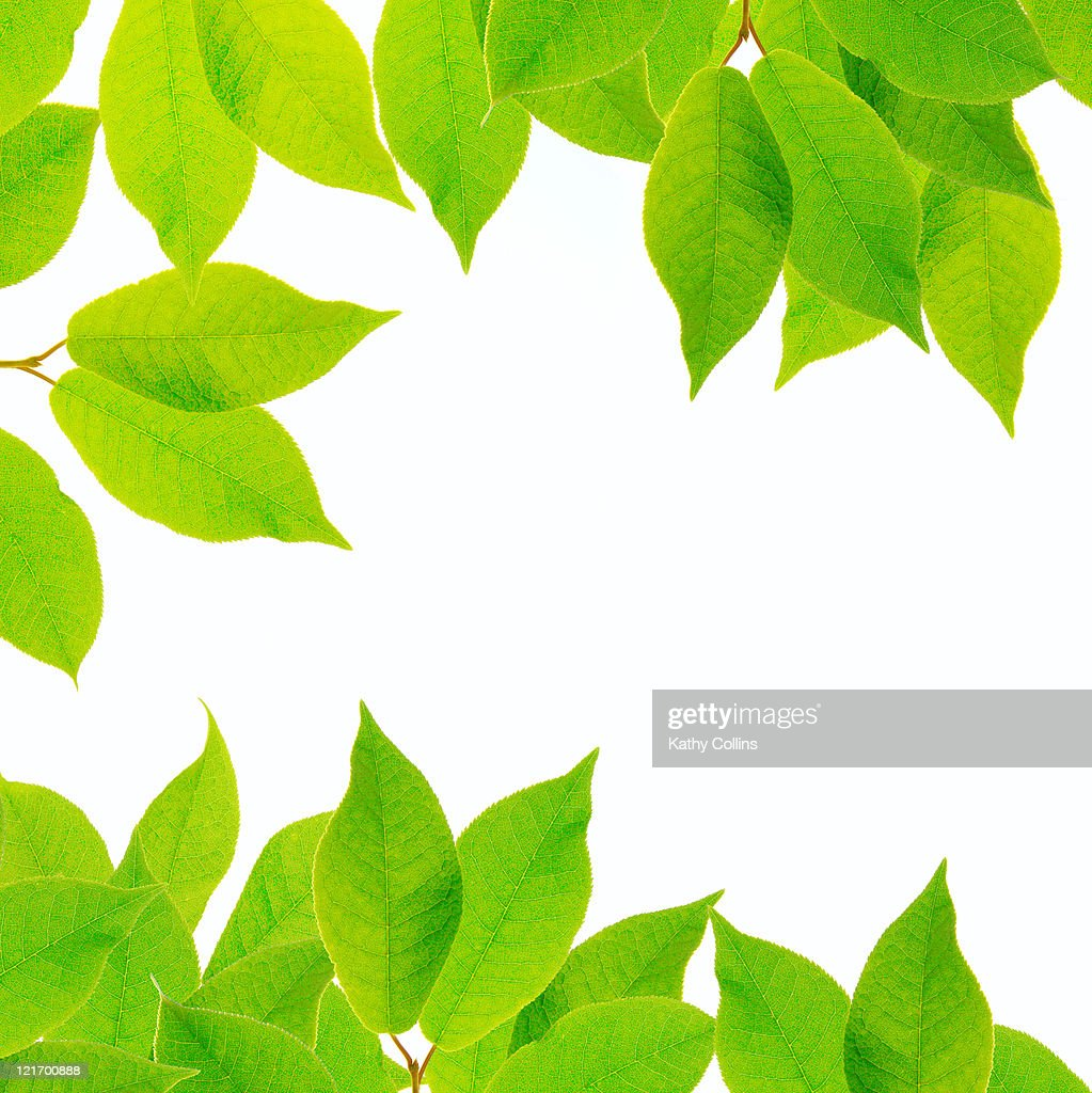 Fresh green leaves against a white background : ストックフォト