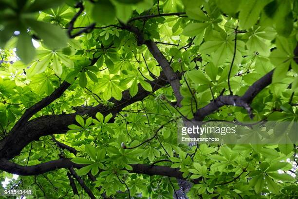fresh green leaves and dark branches of a tree. - emreturanphoto stock pictures, royalty-free photos & images