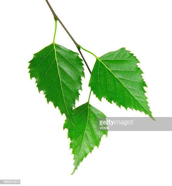 3 fresh green leaves from a branch - leaving stock pictures, royalty-free photos & images