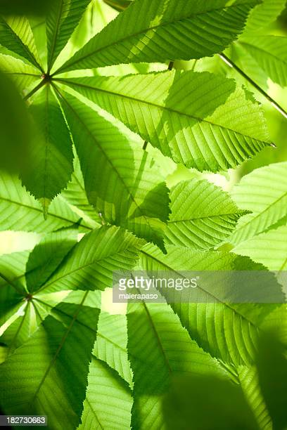 fresh green leaves in forest - picture of a buckeye tree stock photos and pictures