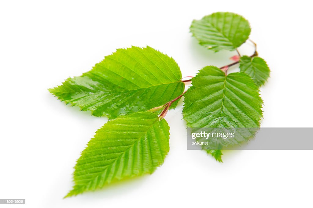 Fresh Green Leaves isolated. : Stock Photo