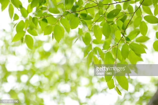 fresh green leaves - 青々とした ストックフォトと画像