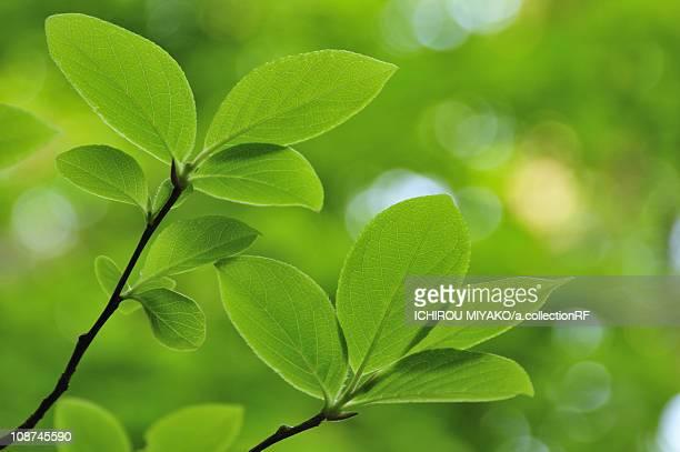 fresh green leaves - 鳥取県 無人 ストックフォトと画像