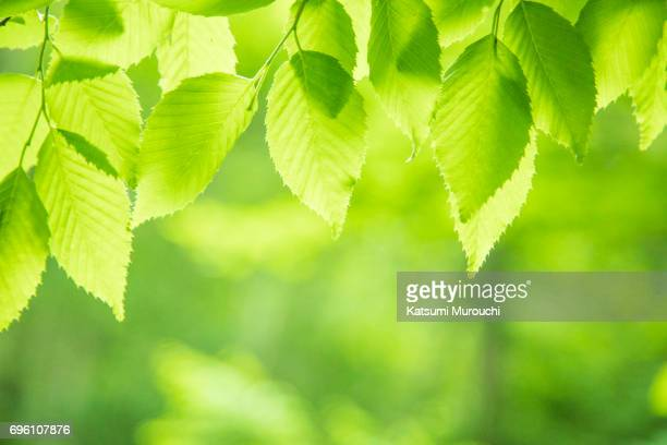 fresh green leaves - beech tree stock pictures, royalty-free photos & images