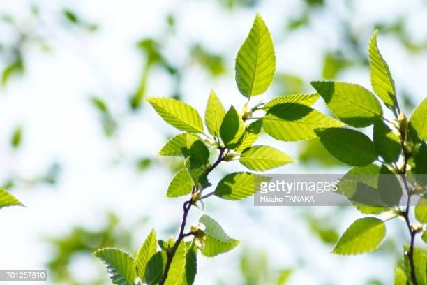 fresh green leaves - 枝 ストックフォトと画像