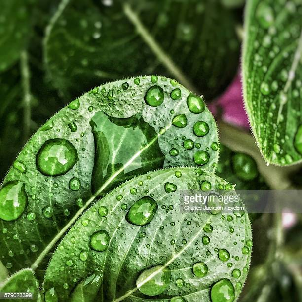 Fresh Green Leaves With Water Drops