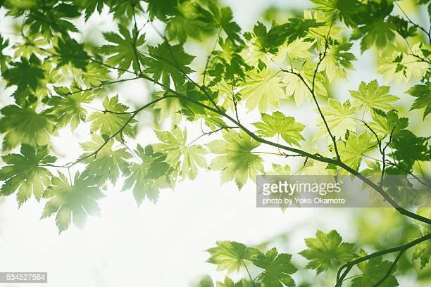 Fresh green maple sheer in the light of the sun