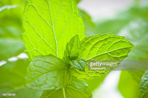 fresh green mint leaves - close-up