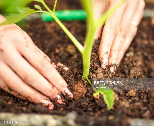 fresh green newcomer planted in soil lined up in a row. - garden stock pictures, royalty-free photos & images