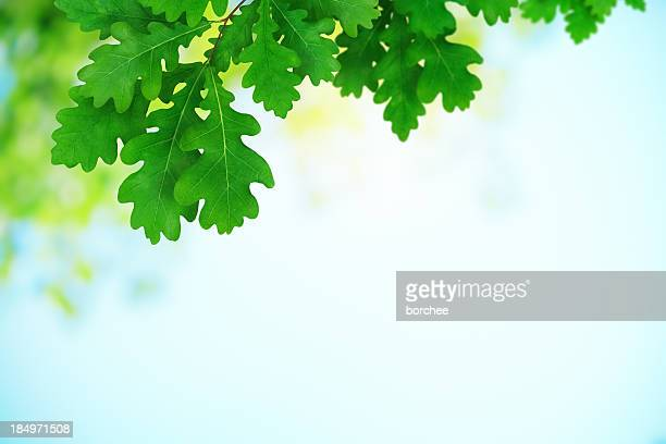 Fresh Green Oak Leaves