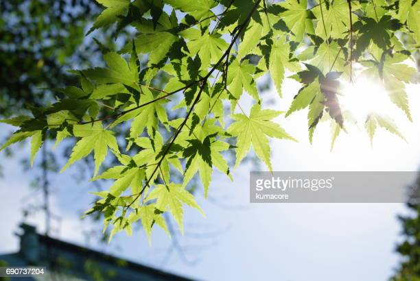 Fresh green of maple leaves,close up