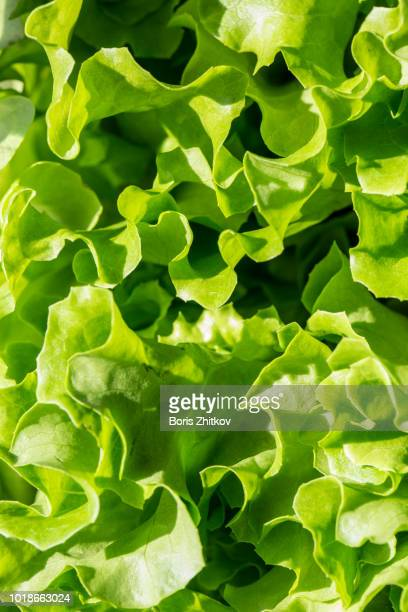 fresh green salad. - lettuce stock pictures, royalty-free photos & images