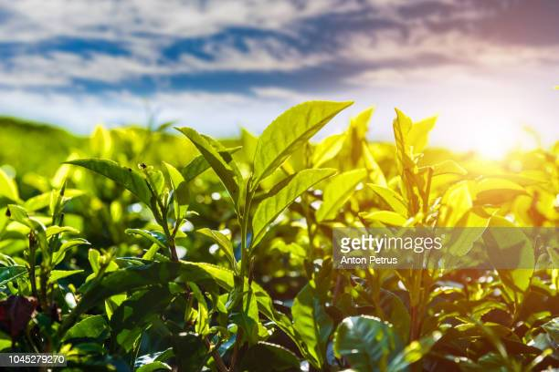 fresh green tea leaves against the beautiful sky background - camellia sinensis stock photos and pictures