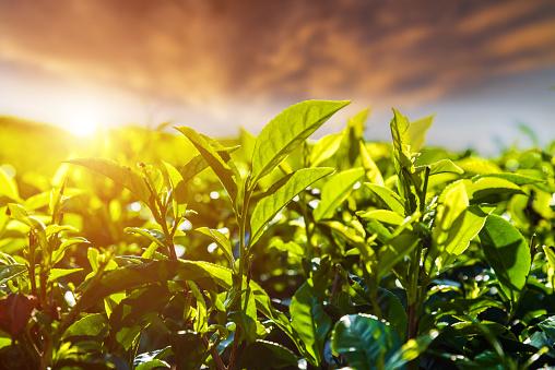 Fresh green tea leaves against the sunset sky background - gettyimageskorea