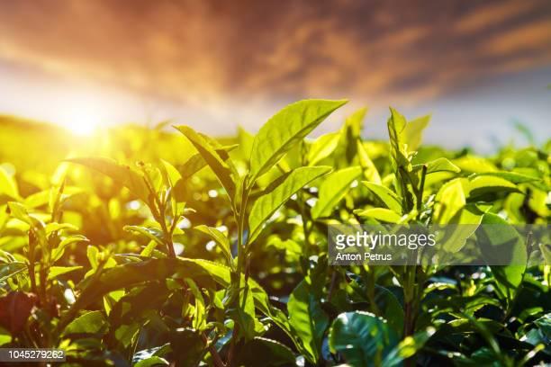 fresh green tea leaves against the sunset sky background - hoja te verde fotografías e imágenes de stock