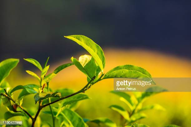 Fresh green tea leaves close up at sunrise
