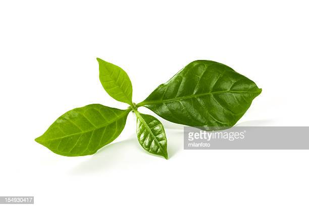 fresh green tea leaves on a white background - camellia sinensis stock photos and pictures