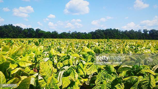 Fresh Green Tobacco Field Against Sky