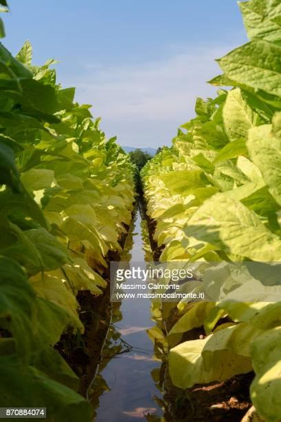 fresh green tobacco field - tabakwaren stock-fotos und bilder