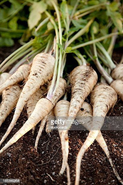 Fresh Homegrown Parsnips on Garden Soil