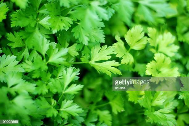 Fresh ingredients : parsley