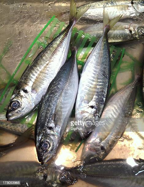 fresh japanese jack mackerel - trachurus japonicus stock pictures, royalty-free photos & images