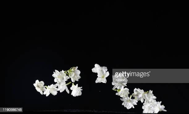 fresh jasmine flower flying in mid air with black background - jasmine flower stock pictures, royalty-free photos & images