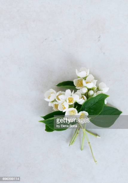 fresh jasmine flowers (leaves, white flowers and buds) - jasmine stock photos and pictures