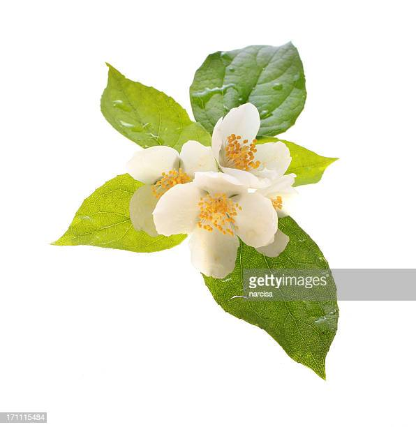 fresh jasmine flowers with dewdrops - jasmine stock photos and pictures