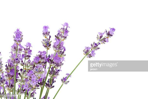 fresh lavender - lavender stock pictures, royalty-free photos & images