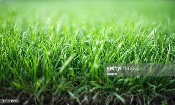 Frische Rasen am Morgen mit Tau