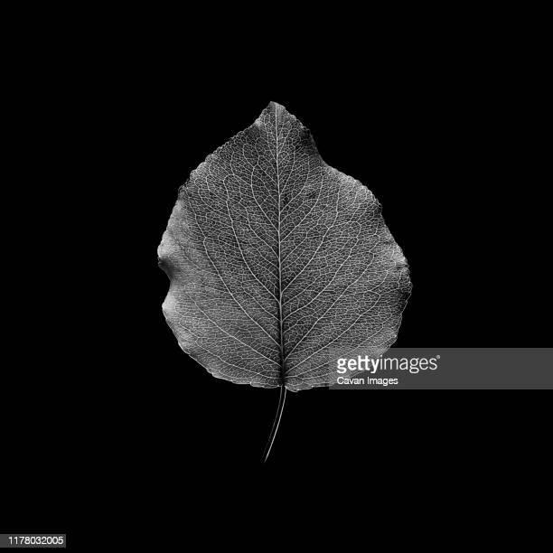 fresh leaf isolated on black background. black and white photography - schwarzweiß bild stock-fotos und bilder
