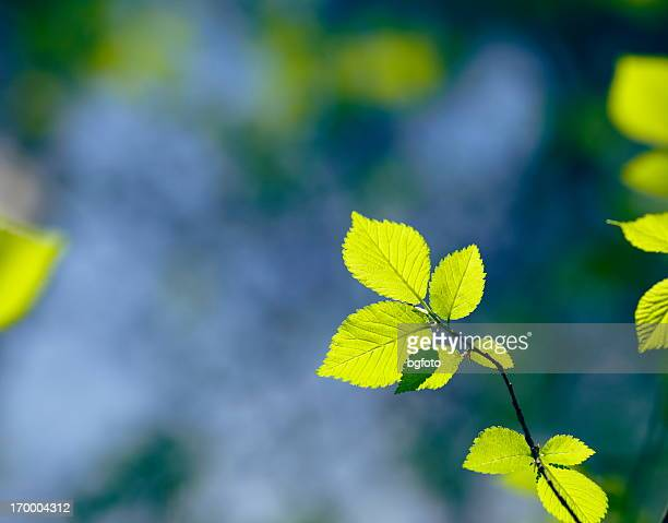 fresh leafs - beech tree stock pictures, royalty-free photos & images