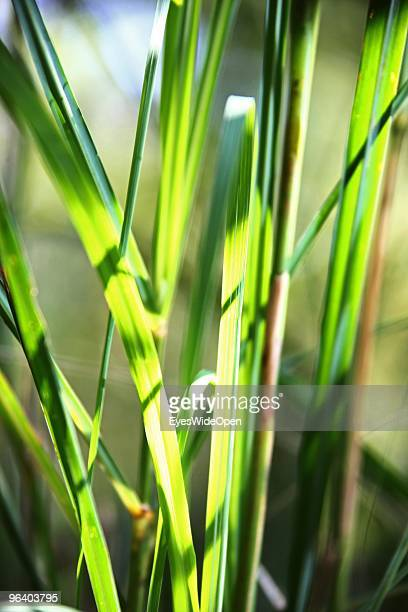Fresh leaves of lemongrass in a tropical aroma spice garden in Kumily on January 06 2010 in Kumily near Trivandrum Kerala South India
