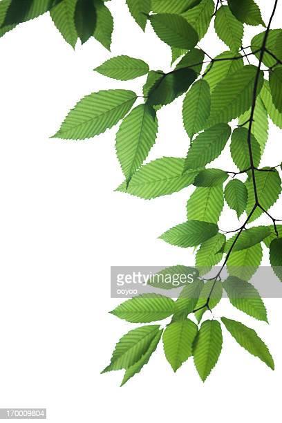 Frische Blätter