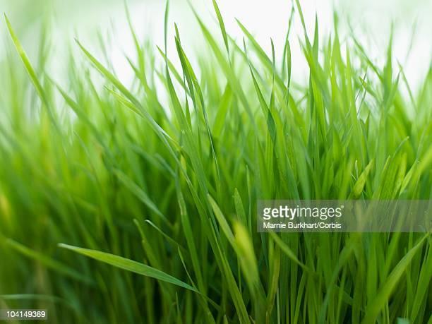 fresh lemon grass - erva cidreira imagens e fotografias de stock